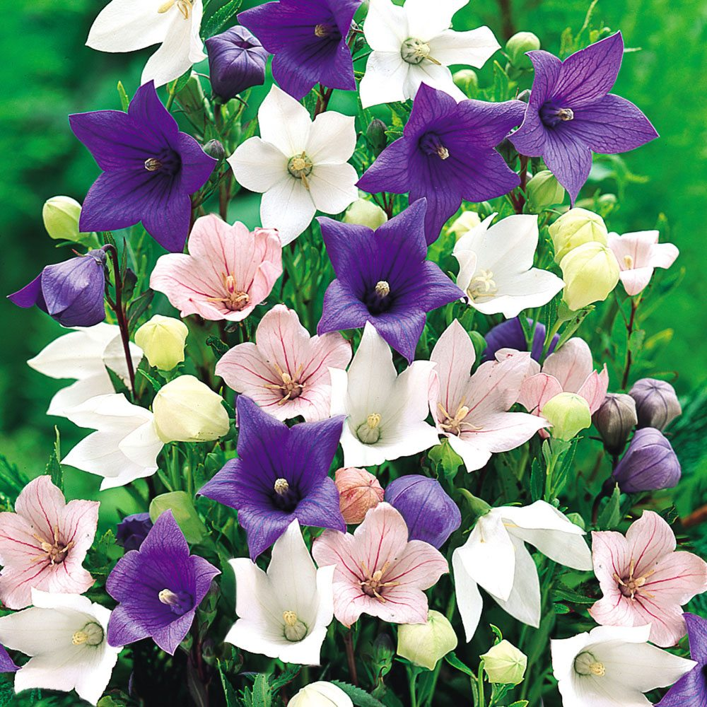 Buy Platycodon Plant Collection J Parker Dutch Bulbs