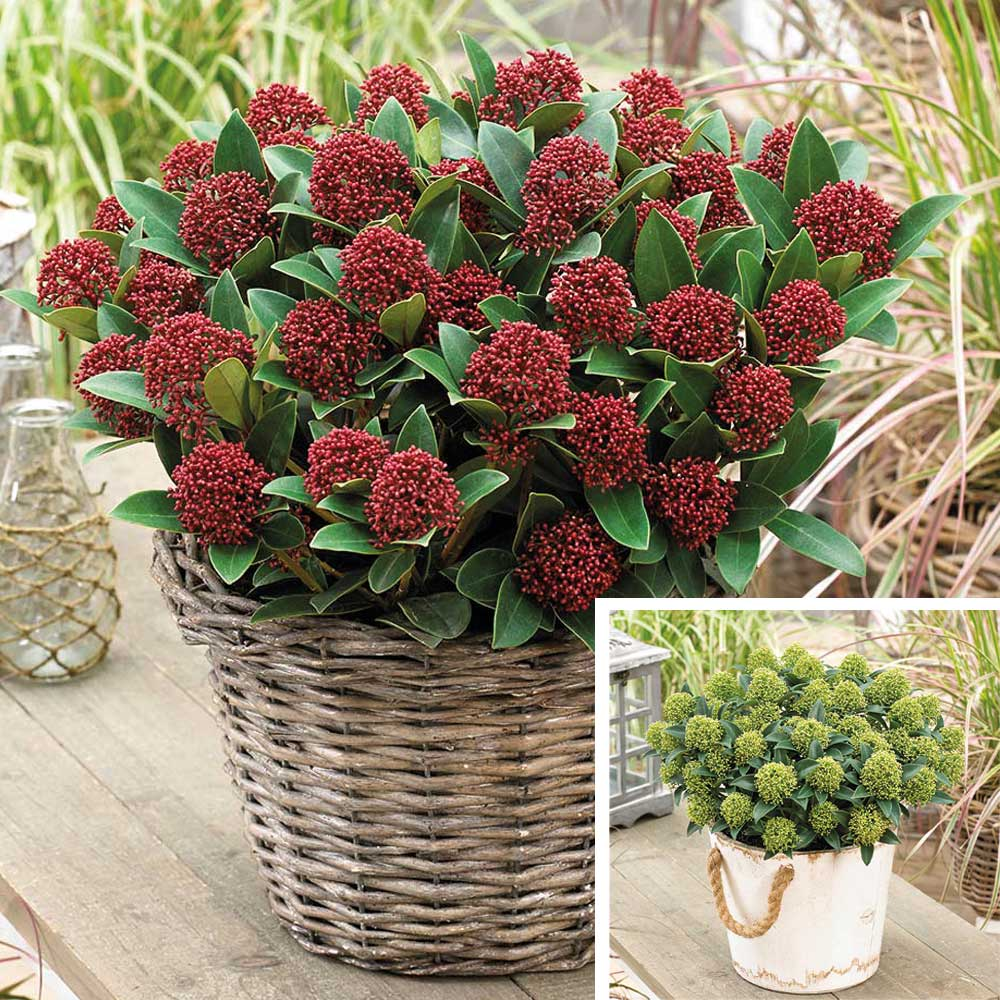 awesome skimmia japonica dwarf collection with skimmia rubella. Black Bedroom Furniture Sets. Home Design Ideas