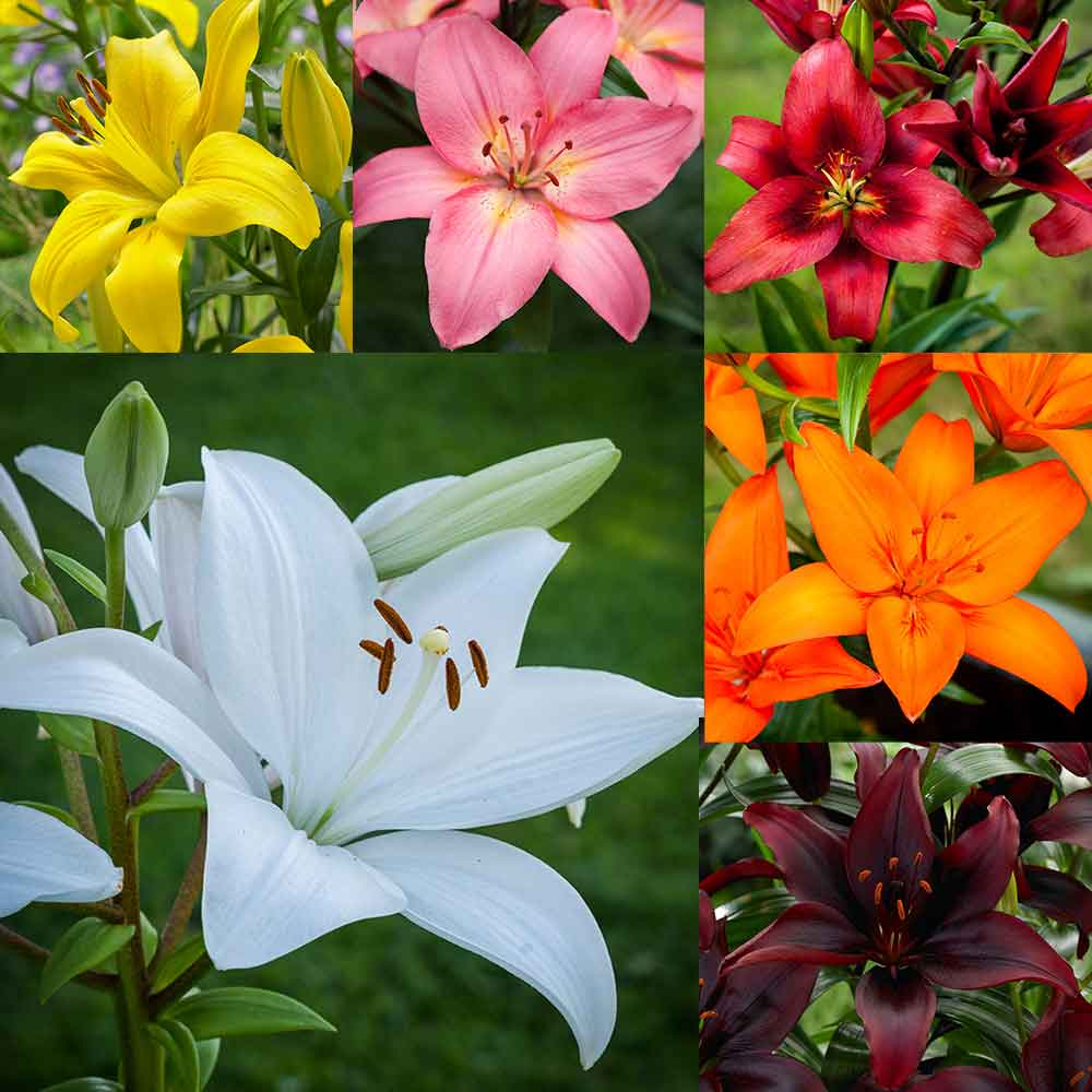 Buy lily asiatic collection j parker dutch bulbs lily asiatic collection izmirmasajfo