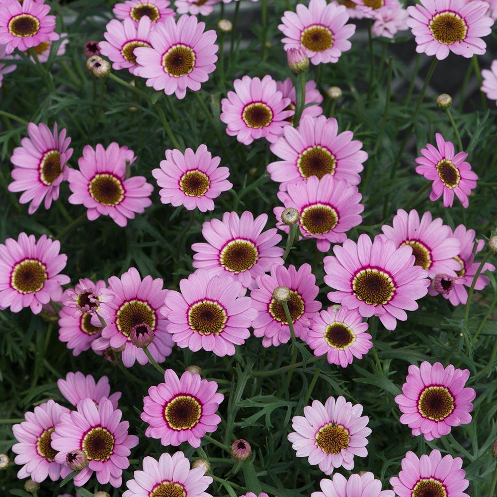 Argyranthemum grandaisy pink j parker dutch bulbs argyranthemum grandaisy pink izmirmasajfo