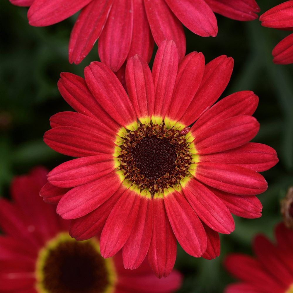 Argyranthemum grandaisy red j parker dutch bulbs argyranthemum grandaisy red izmirmasajfo