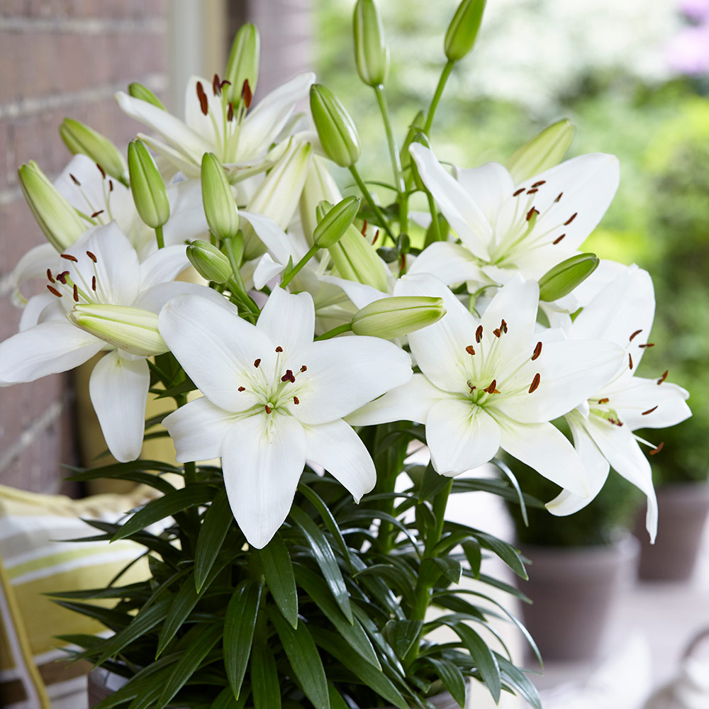 Lily sparkling joy j parker dutch bulbs lily sparkling joy izmirmasajfo