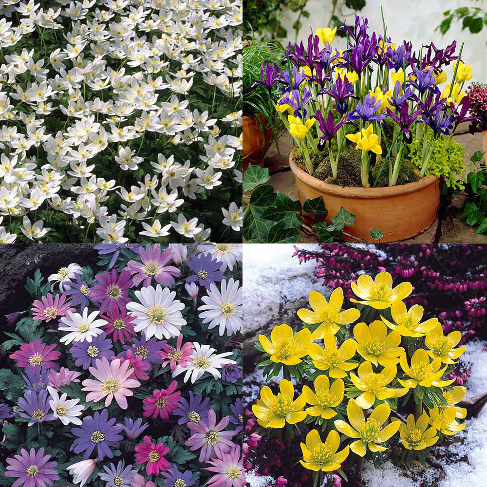 Buy early spring bulb collection j parkers early spring bulb collection mightylinksfo