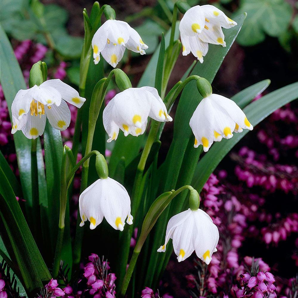 Leucojum Vernum Mirror Garden Offers