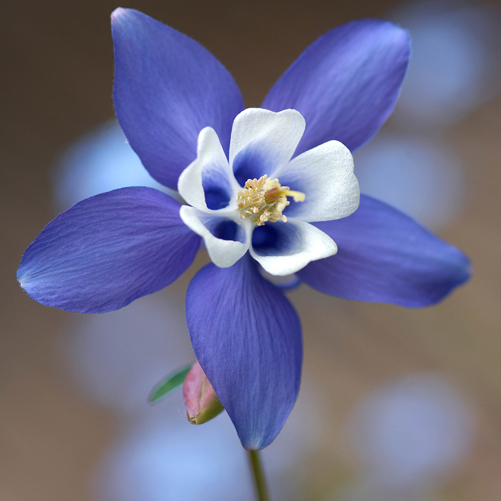 Aquilegia Blue Star J Parker Dutch Bulbs