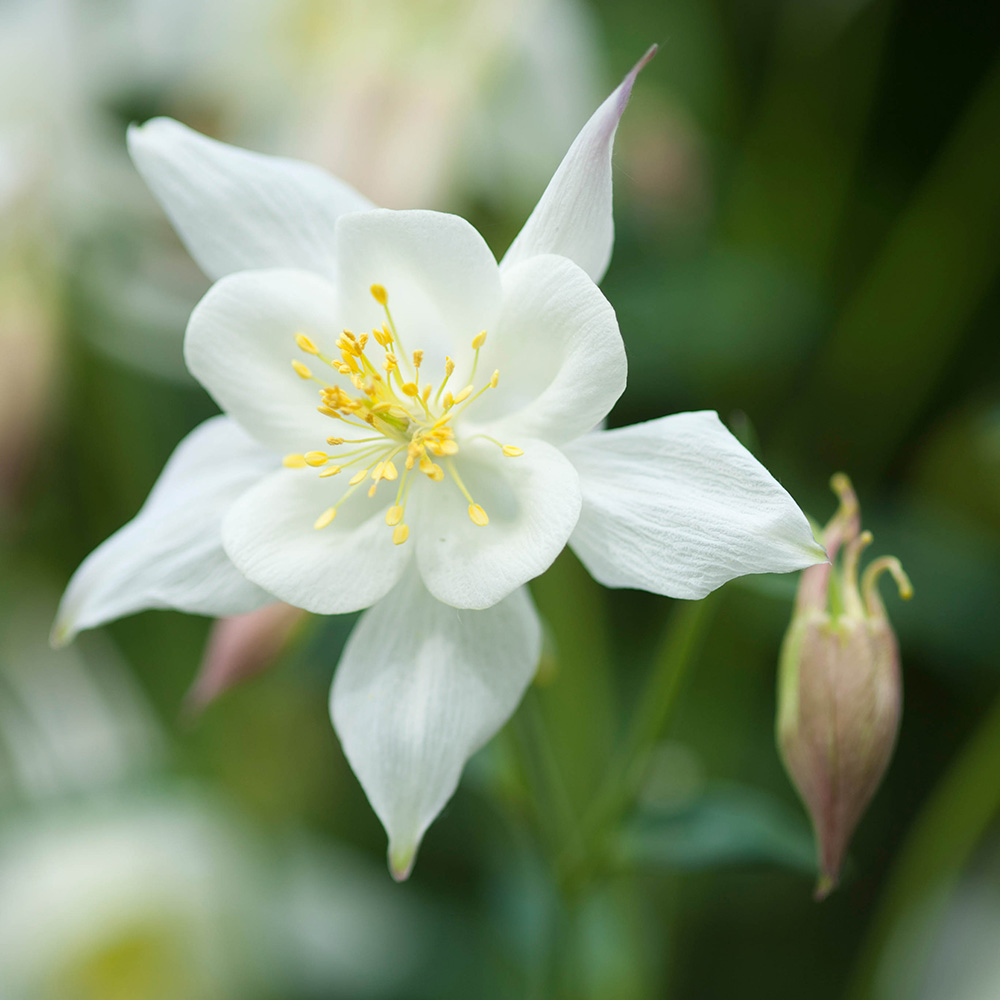 Aquilegia kristalle white star j parker dutch bulbs aquilegia kristalle white star mightylinksfo