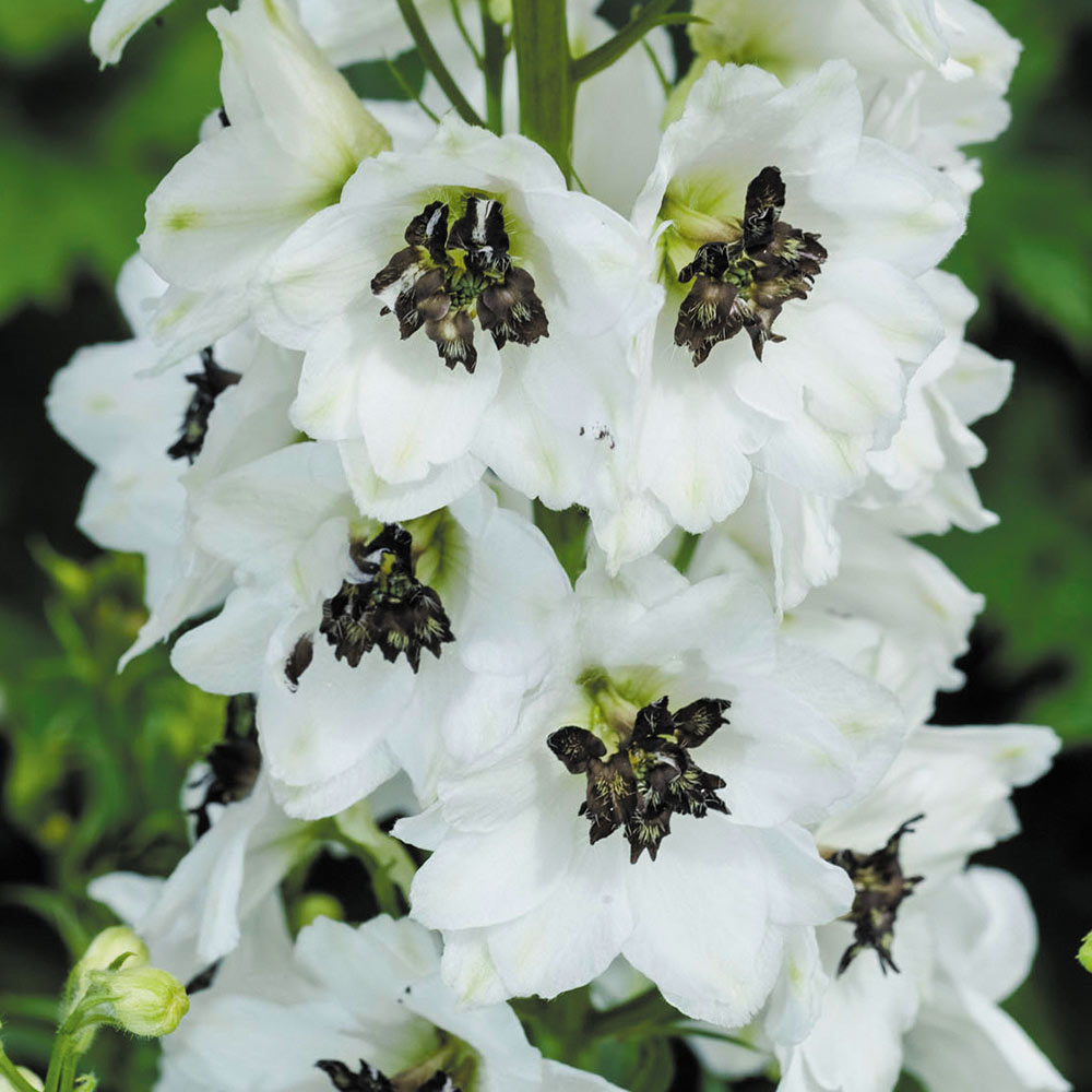 Delphinium Magic White J Parker Dutch Bulbs