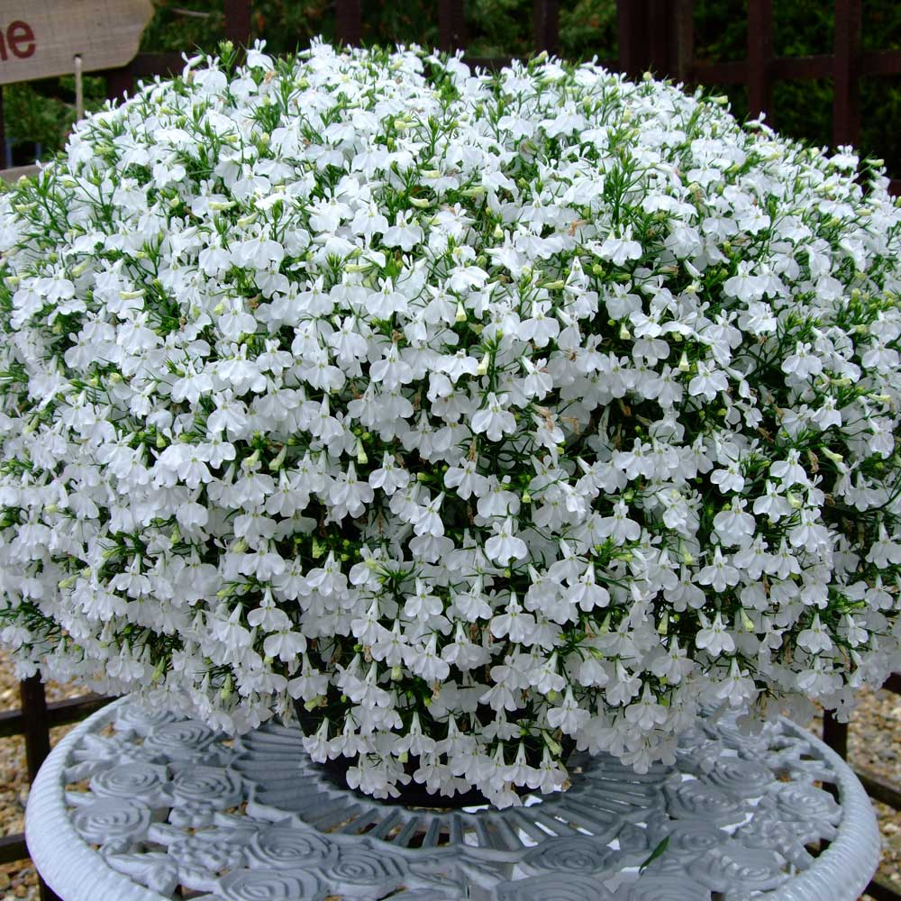 Lobelia California White J Parker Dutch Bulbs