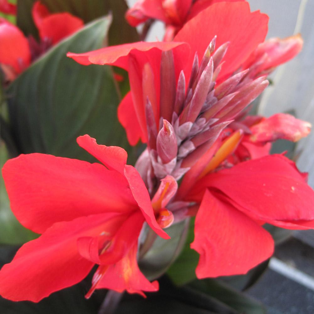 6 X CANNA INDICA  CANNOVA MIX LARGE PLUG PLANTS  NEW SEASON FREE POSTAGE