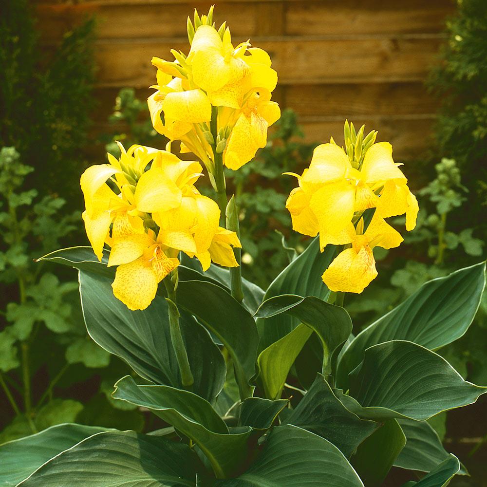 Canna Cannova Yellow J Parker Dutch Bulbs