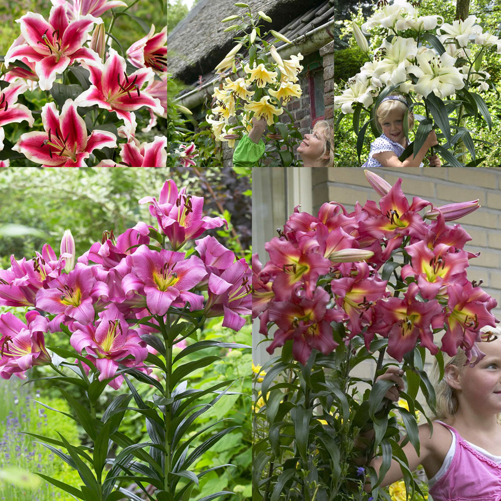 deep pink flowers 2 bulbs Lily Like a Tree Satisfaction