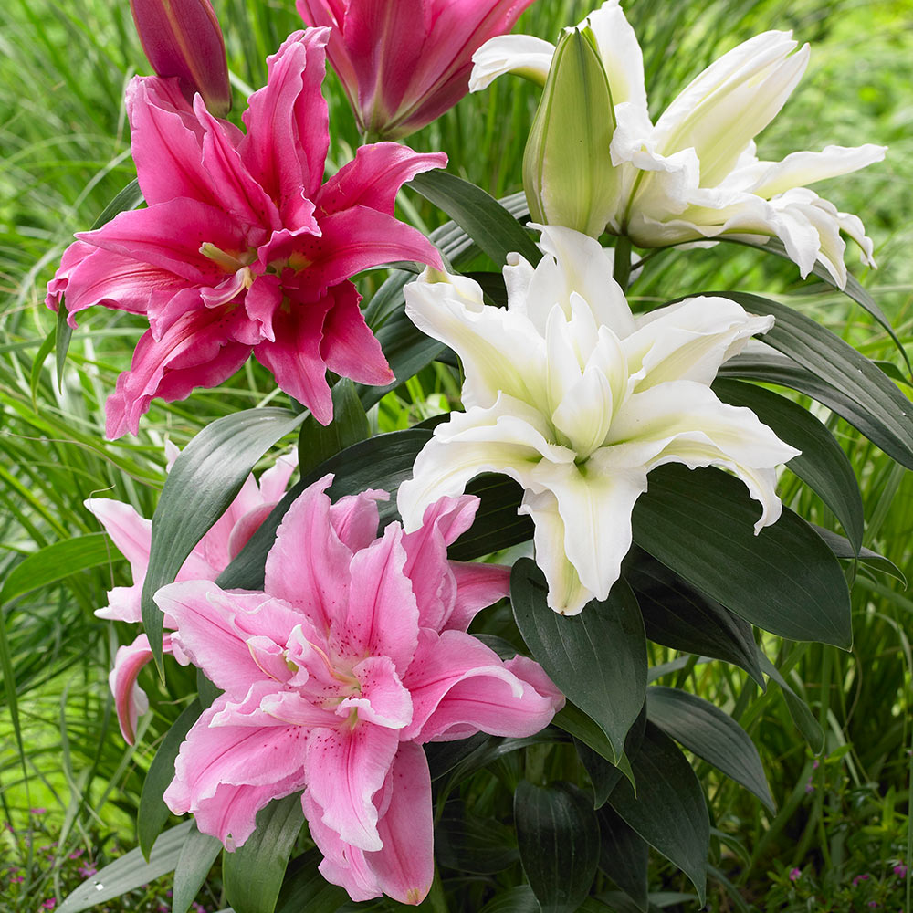 Lily roselily collection j parker dutch bulbs lily roselily collection izmirmasajfo