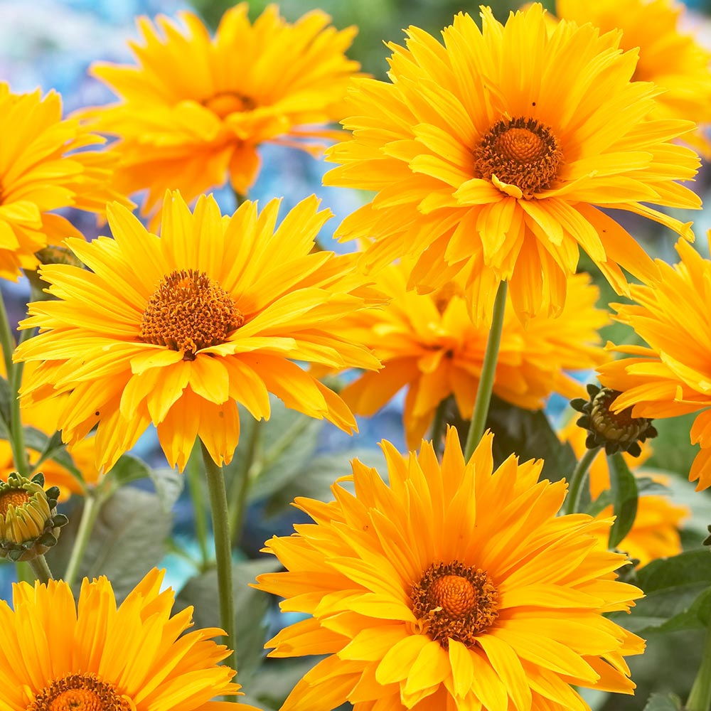 Mediumtall Perennial Collection Mirror Garden