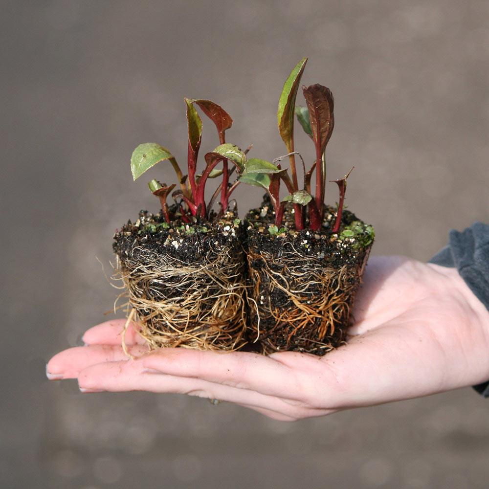 Achillea Millefolium Cassis J Parker Dutch Bulbs
