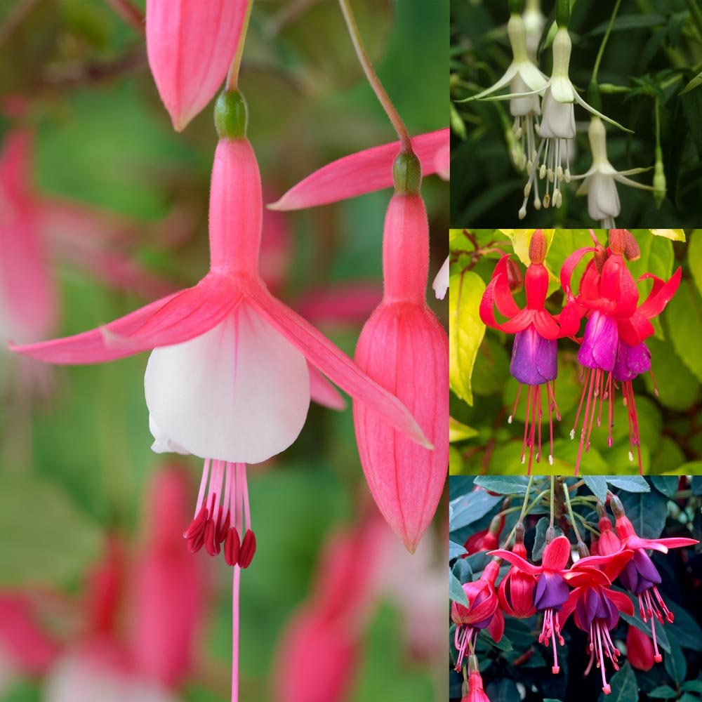 Fuchsia Unusual Hardy Collection Express Garden Shop