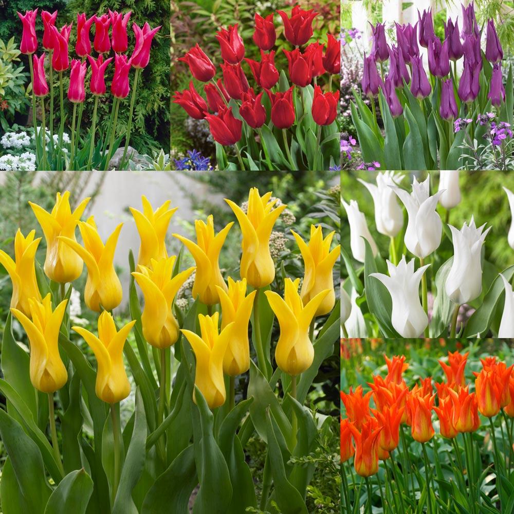 Borders /& pots 10 Tulip Little Beauty Bulbs Dwarf Tulip Ideal for rockeries