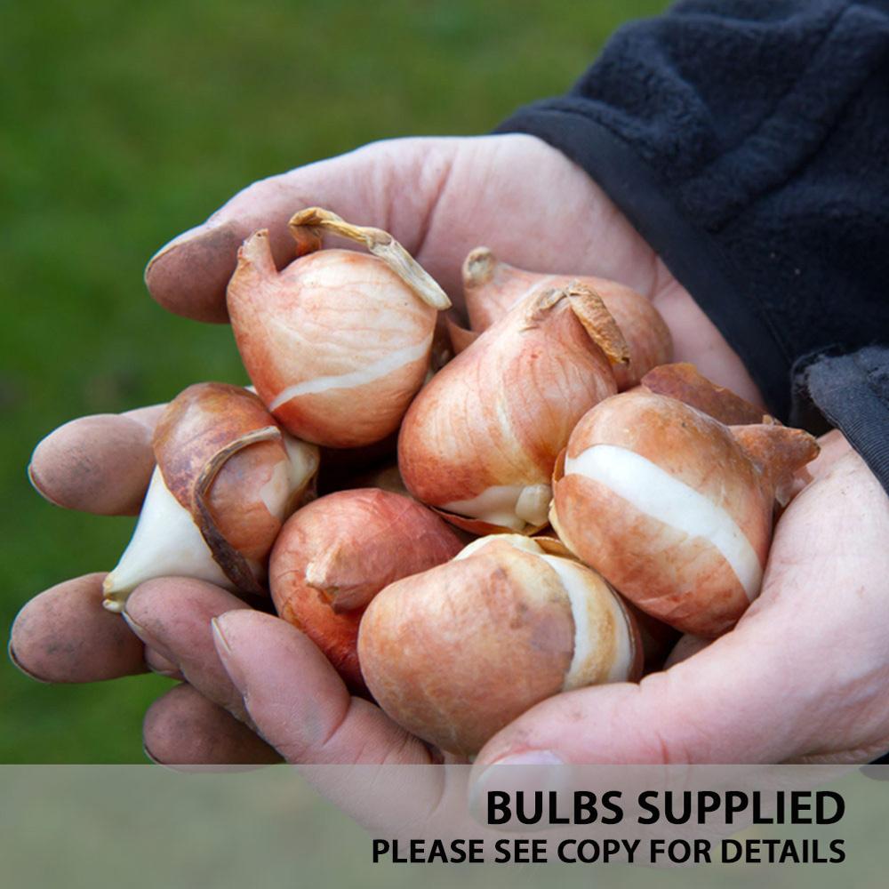 3 Bulbs in a Pot Pink 11cm Pot Size Hyacinth