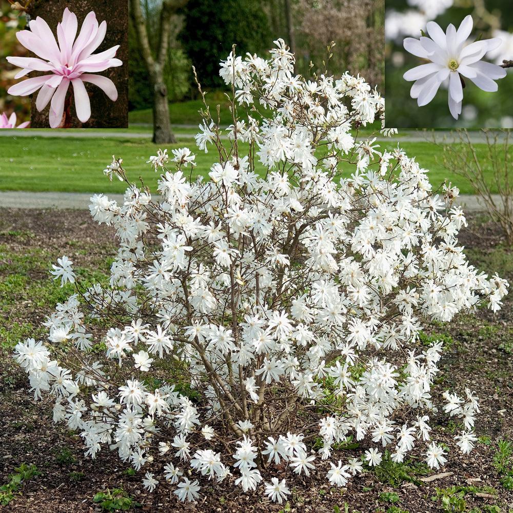 White Fragrant Star Magnolia 3 x 9cm Pot Magnolia Plant Outdoor Garden Shrub Hayloft Magnolia Stellata
