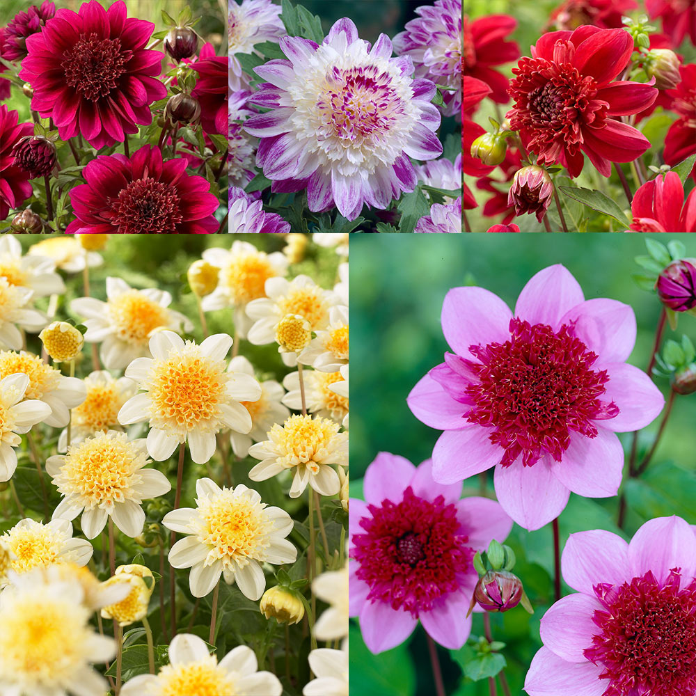 Mixed Colourful Flowers 4 x Dahlia Mignon ATTRACTS Butterflies in Your Beautiful Garden