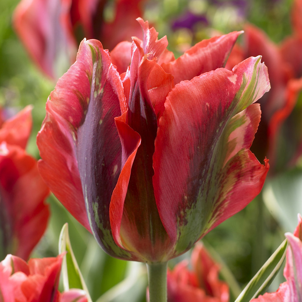 Rare New 3-Colour Scent Tulip Hollywood Star Viridiflora Bulbs Green Red White