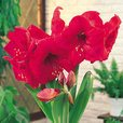 Amaryllis Red Lion 34cm+