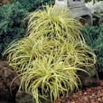 Carex oshimensis Evergold