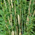 Bamboo Common Hardy