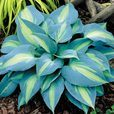 Hosta Touch Of Class