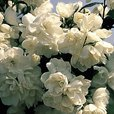 Philadelphus Virginal (Mock Orange)