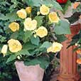 Abutilon Yellow