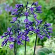 Agapanthus Back In Black