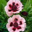 Papaver orientale Little Dancing Girl