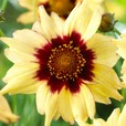 Coreopsis Autumn Blush