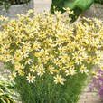 Coreopsis verticill. Moonbeam