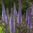 Veronicastrum Cupid