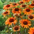 Echinacea Orange Passion