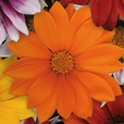 Gazania Super Colour Mixed (Rapid Plugs)