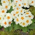 Primula Cottage Cream (Maxi Plug Plants)
