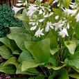Hosta Royal Standard (Fragrant)