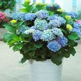 Hydrangea macrophylla Magical 'Revolution Blue'
