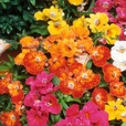 Nemesia Sundrops Mixed (Maxi Plugs)