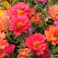 Portulaca Happy Hour Mixed (Maxi Plugs)
