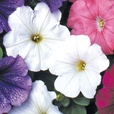 Petunia Select Mixed (Rapid Plugs)