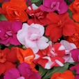 Impatiens Double Athena Mixed (Maxi Plugs)