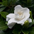 Gardenia jasminoides Crown Jewel (9cm Pot Plant)