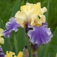 Iris germanica Edith Wolford