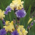 Iris germanica 'Edith Wolford'
