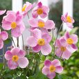 Anemone japonica Little Princess