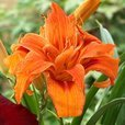 Hemerocallis Apricot Beauty