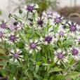 Centaurea Amethyst in Snow